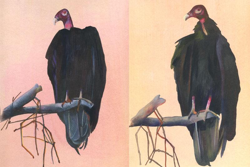 Ubu à tête rouge-Costa-Rica- Aquarelle-Gaëlle Pelachaud