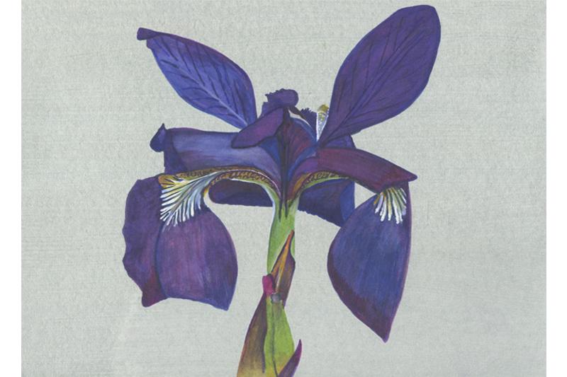 Iris Bleu-France-Aquarelle-Gaëlle Pelachaud