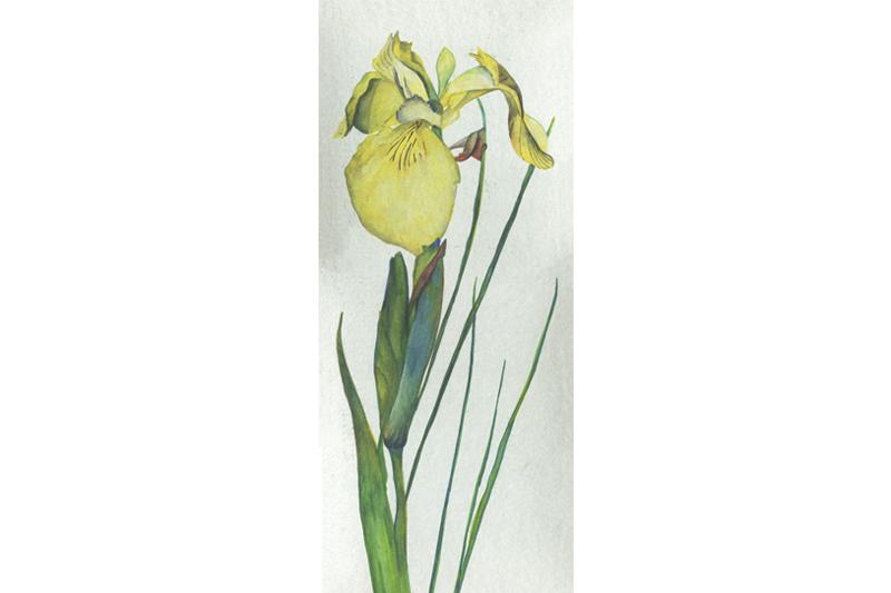 Iris Jaune-France-Aquarelle-Gaëlle Pelachaud