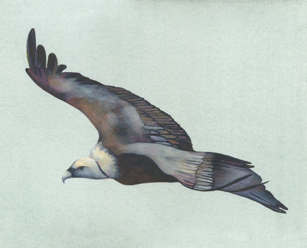 Vautour- Aquarelle-Gaëlle pelachaud